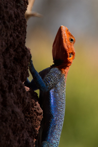 Red-Headed Rock Agama. Photograph by Stephen Powell wildlife Artist and Photographer