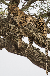 Leopard. African Safari 2012- Tanzania, Photograph by Stephen Powell wildlife Artist and Photographer