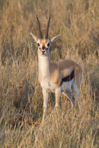 Thomson's Gazelle Male. African Safari 2012- Tanzania, Photograph by Stephen Powell wildlife Artist and Photographer
