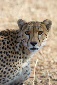 Cheetah, African Safari 2012- Tanzania, Photograph by Stephen Powell wildlife Artist and Photographer
