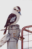 Laughing Kookaburra Watercolour painting By Stephen Powell
