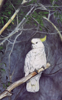 Oil Painting by Stephen Powell Sulphur-crested Cockatoo