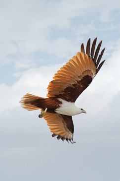 Brahminy Kite Stephen Powell