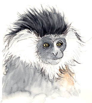Pen and wash painting Angolan Colobus - Rwanda by Stephen Powell