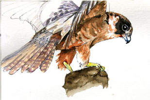 Watercolour Sketches Australian Hobby by Stephen Powell wildlife artist