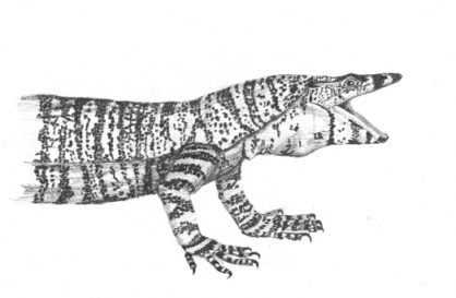 Drawing by Stephen Powell Lace Monitor