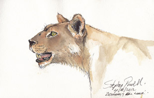 Lion - Manyara Tanzania Pen and watercolour wash by Stephen Powell Wildlife Artist