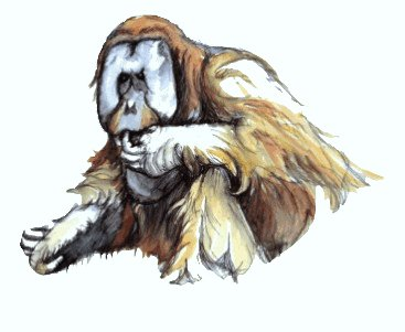 Orang-utan Pand and wash watercolour sketch by Stephen Powell wildlife artist