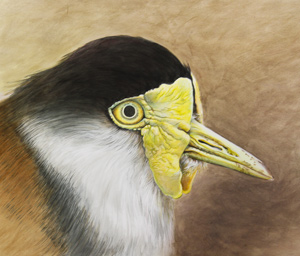 Plover by Julianne Gosper. Workshop participant of Stephen Powell Wildlife Artist at Grafton Artsfest