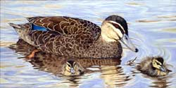 Pacific Black  Duck oil Painting by Stephen Powell