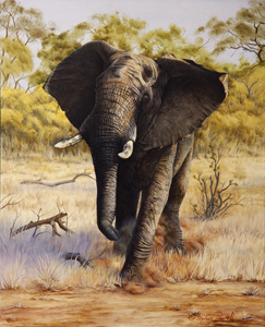 African Elephant Oil painting by Stephen Powell. Reference gathered whilst participating in Siyafunda Volunteers on Makalali Game Reserve South Africa