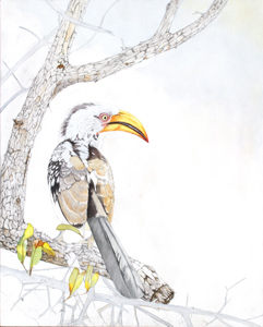 Work in progress 2. Southern Yellow billed Hornbill Oil Painting by Stephen Powell Wildlife Artist Photographer