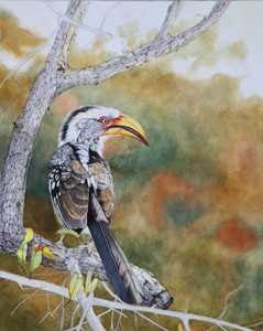 Work in progress 4. Southern Yellow billed Hornbill Oil Painting by Stephen Powell Wildlife Artist Photographer