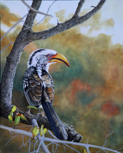 Work in progress 5. Southern Yellow billed Hornbill Oil Painting by Stephen Powell Wildlife Artist Photographer