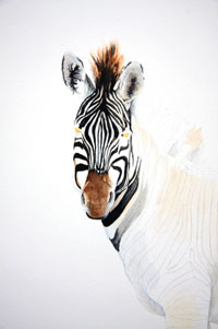Zebra Watercolour painting by Stephen Powell
