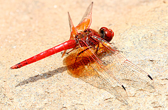 Red Orange Dragonfly. Photograph by Stephen Powell wildlife Artist and Photographer