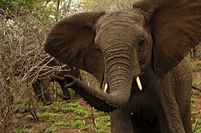 Angry teenage elephant. Photograph by Stephen Powell wildlife Artist and Photographer