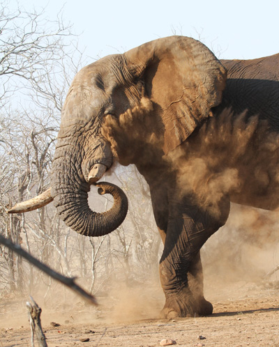 Bull elephant dust bath. Photograph by Stephen Powell wildlife Artist and Photographer