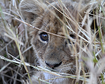 Lost lion cub. Photograph by Stephen Powell wildlife Artist and Photographer