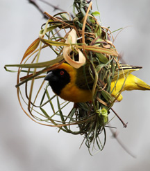 Southern Masked Weaver. Photograph by Stephen Powell wildlife Artist and Photographer